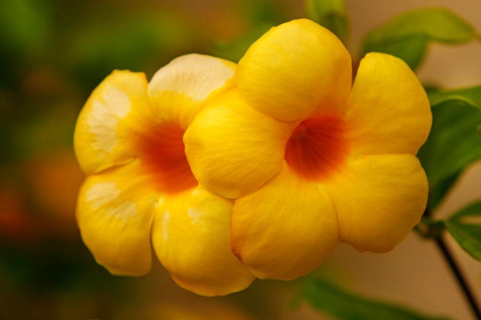 puffie_yellow_flowers